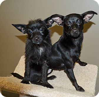 Chihuahua Dog for adoption in Michigan City, Indiana - Precious & Pebbles