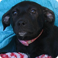 Labrador Retriever Mix Puppy for adoption in Cuba, New York - Heart String Watkins