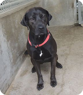 Labrador Retriever Mix Dog for adoption in House Springs, Missouri - Marylin