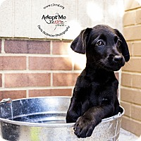 Adopt A Pet :: Creepy (Addams Family Litter) - Mooresville, NC