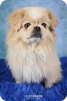 Pekingese Dog for adoption in Inver Grove, Minnesota - Bingo