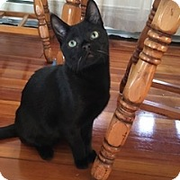 Domestic Shorthair Cat for adoption in Riverside, Rhode Island - Max and Phoebe