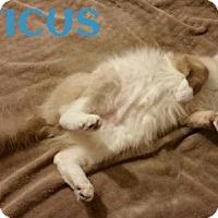 Siamese Cat for adoption in Lawton, Oklahoma - ATTICUS