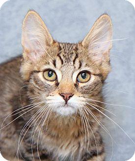Domestic Shorthair Kitten for adoption in Encinitas, California - Yeti Junior