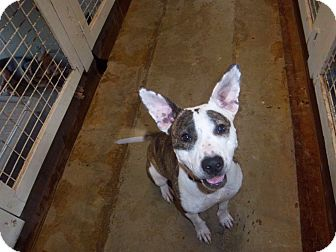 Bull Terrier Dog for adoption in Windsor, Missouri - Katie