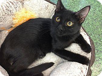 Domestic Shorthair Kitten for adoption in Chandler, Arizona - Ansel
