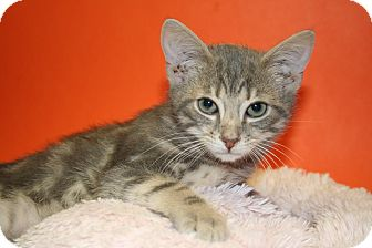 Domestic Shorthair Kitten for adoption in SILVER SPRING, Maryland - BLAKE