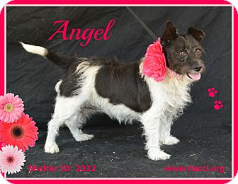 Terrier (Unknown Type, Small) Mix Dog for adoption in Plano, Texas - Angel