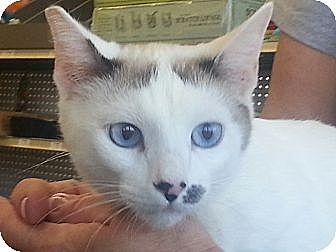 Siamese Cat for adoption in Pasadena, California - Malai