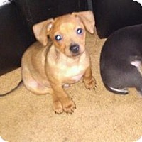 Adopt A Pet :: Moose - Hilliard, OH