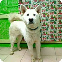 Adopt A Pet :: URGENT - White Akita in LA - Hayward, CA