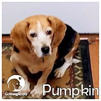 Adopt A Pet :: Pumpkin - Novi, MI