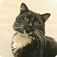 Adopt A Pet :: Mittens - Foothill Ranch, CA