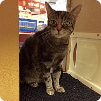 Domestic Shorthair Cat for adoption in Barrington Hills, Illinois - Mindy