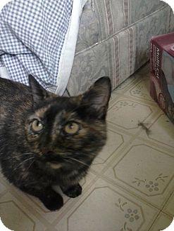 Domestic Shorthair Cat for adoption in Clarkson, Kentucky - Momma Torte