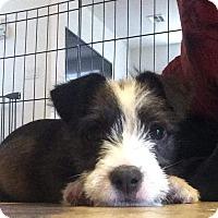 Adopt A Pet :: Humphrey Bogart - Henderson, NV