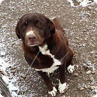 Adopt A Pet :: Layla - Fort Benton, MT