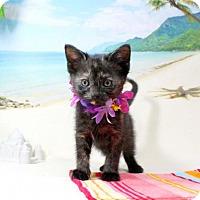 Domestic Shorthair Kitten for adoption in Harrisonburg, Virginia - Bubbles