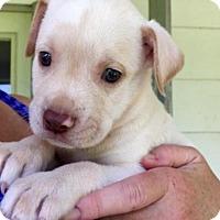 Adopt A Pet :: Reisling - Barnegat, NJ