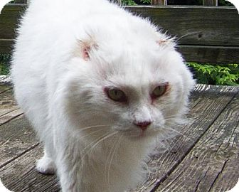Domestic Longhair Cat for adoption in Asheville, North Carolina - Comet
