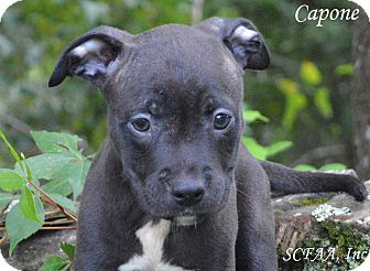 American Staffordshire Terrier Puppy for adoption in Lake Pansoffkee, Florida - Capone