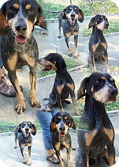 Bluetick Coonhound Dog for adoption in Hot Springs, Virginia - Jeb