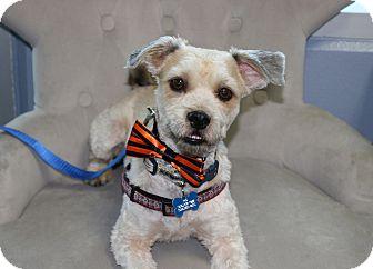 Wheaten Terrier Mix Dog for adoption in South El Monte, California - Saint