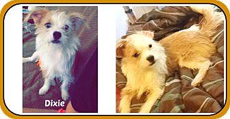Shih Tzu Mix Puppy for adoption in Malvern, Arkansas - DIXIE
