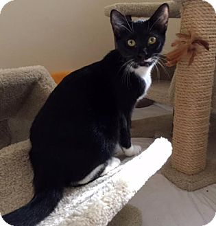 Domestic Shorthair Kitten for adoption in Lombard, Illinois - Darby