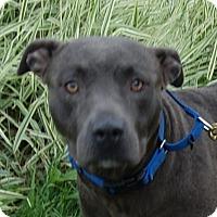 Pit Bull Terrier Mix Dog for adoption in Monroe, Michigan - Anya