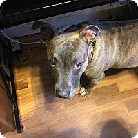 Adopt A Pet :: Piglet - Grand Rapids, MI