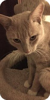 Domestic Shorthair Cat for adoption in New York, New York - Floyd