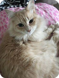 Domestic Longhair Cat for adoption in Toledo, Ohio - Pamela