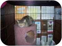 Domestic Shorthair Cat for adoption in Grand Rapids, Michigan - Danka