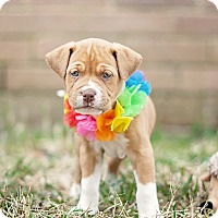 Adopt A Pet :: Cadence - Houston, TX