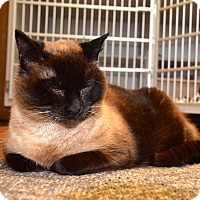 Siamese Cat for adoption in Des Moines, Iowa - Regina