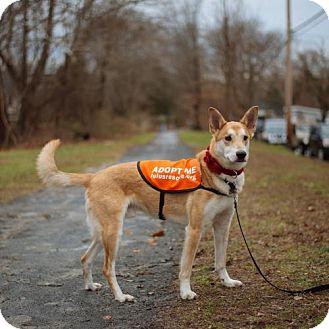 Shepherd (Unknown Type) Dog for adoption in Point Pleasant, Pennsylvania - RJ