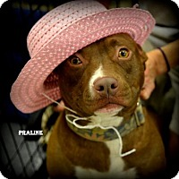 Adopt A Pet :: Praline - Independence, MO