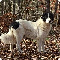 Adopt A Pet :: Flower - Brattleboro, VT