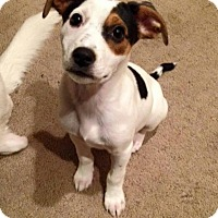 Adopt A Pet :: Dasher - New Oxford, PA