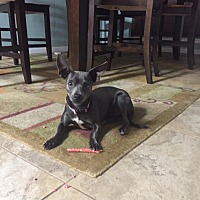 Chihuahua Mix Dog for adoption in Wichita Falls, Texas - Felicia