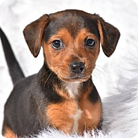 Adopt A Pet :: Tiger - Charlemont, MA