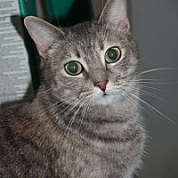 Domestic Shorthair Cat for adoption in Encino, California - MISSY