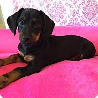 Adopt A Pet :: Aiden - Las Vegas, NV