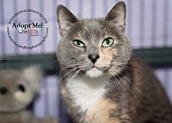 Siamese Cat for adoption in Freeport, New York - Pretty