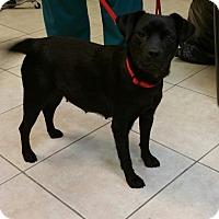Labrador Retriever Mix Dog for adoption in West Palm Beach, Florida - Belle