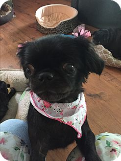 Pekingese/Japanese Chin Mix Dog for adoption in Greensboro, Maryland - London