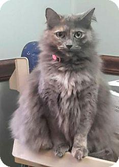 Domestic Longhair Cat for adoption in Harrisonburg, Virginia - Miss Kitty