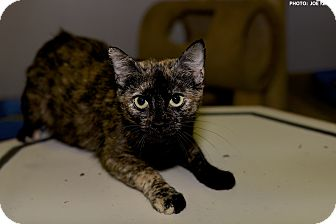 Domestic Shorthair Cat for adoption in Medina, Ohio - Marie