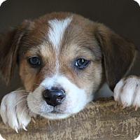 Adopt A Pet :: Pattycake-ADOPTED - Glastonbury, CT